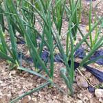 有機玉ねぎ畑