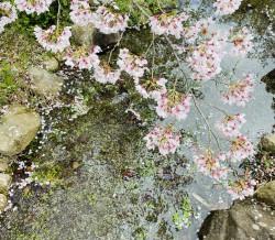 2020桜